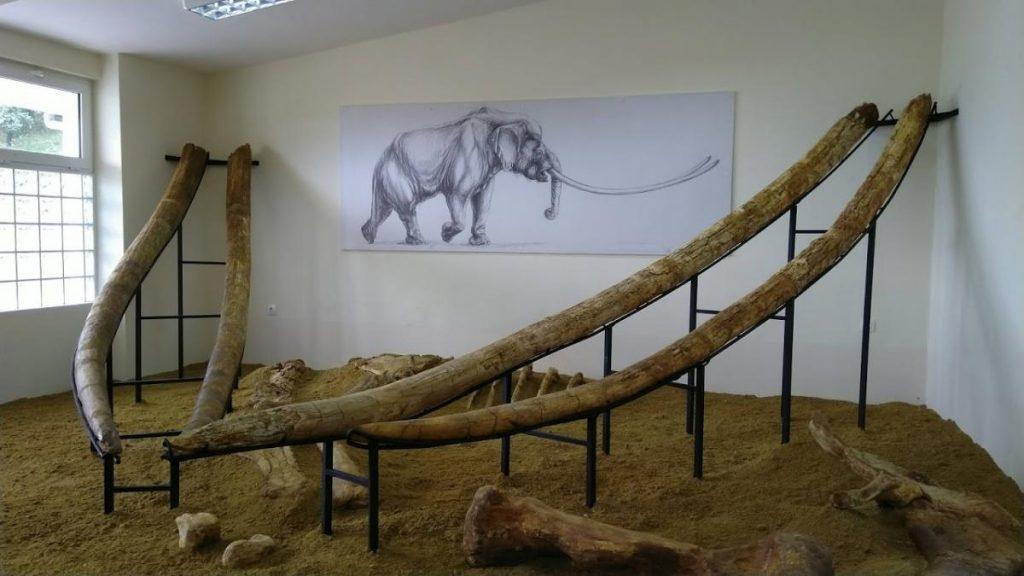 Οι μεγαλύτεροι χαυλιόδοντες στον κόσμο στο Μουσείο της Μηλιάς Γρεβενών