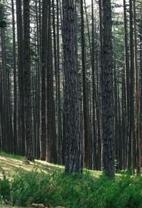 Δάσος με μαύρα πεύκα