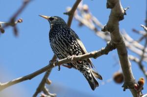 Ψαρόνι - Starling