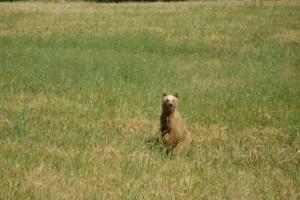 Τυχαία συνάντηση με την αρκούδα